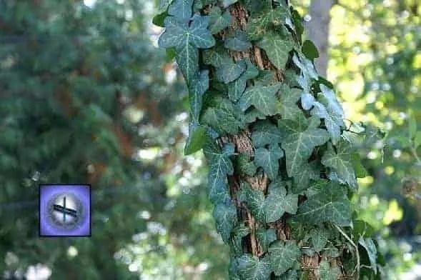 Ivy spiritual meaning