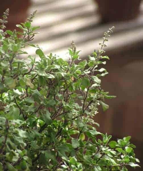 Basil Herb