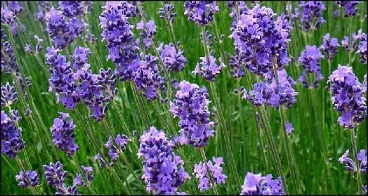 Lavender Metaphysical Properties