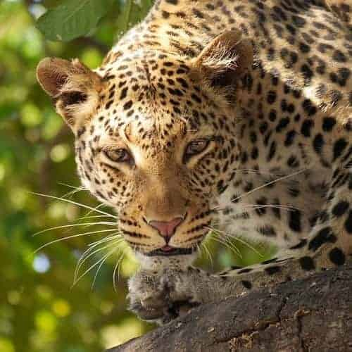 spiritual message from leopard