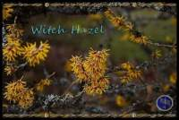 witch hazel tree Wicca meaning and magical properties