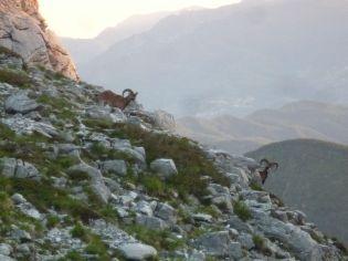 Mufloni vicino al rifugio