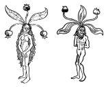 Radice di mandragola in un codice antico