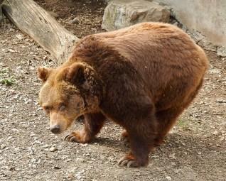 l'orsa Giulietta