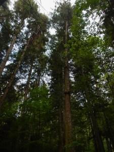 Qui ci sono gli alberi più alti d'Italia