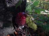 Piccola amanita muscaria