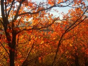 Acero in autunno