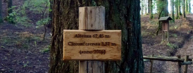 L'anello dei giganti di Vallombrosa, gli alberi più alti d'Italia