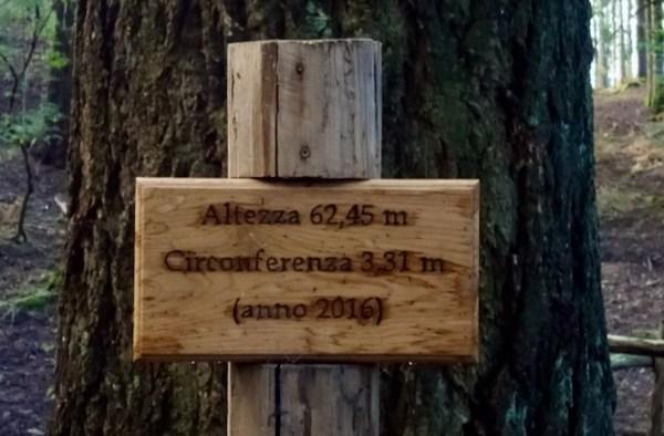 Tra le douglasie di Vallombrosa, gli alberi più alti d'Italia