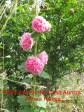 8 Althea Rosea IMG_2419