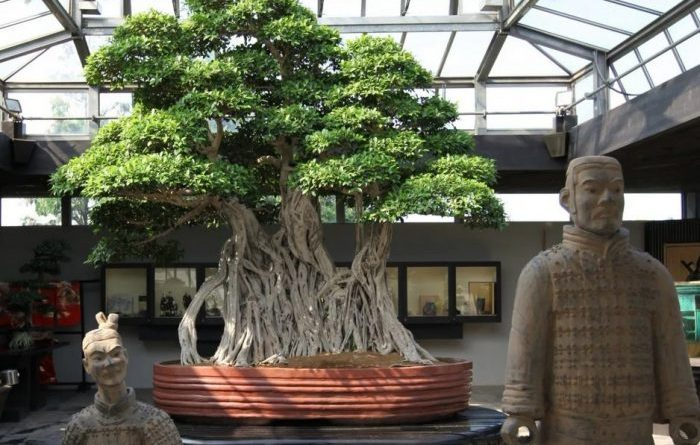 This Is The Oldest Bonsai Tree In The World Curious Links