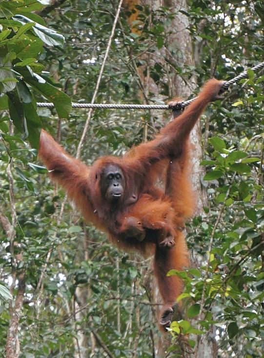 Orangutan 7
