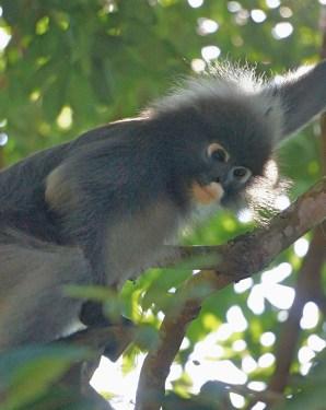 Penang - Dusky leaf monkey 1