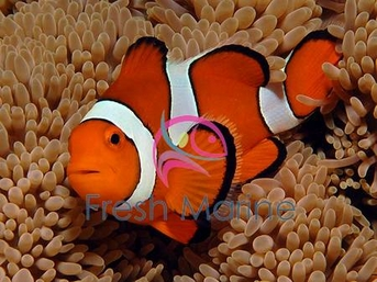 Pico Clownfish | Percula Clownfish Max Size The Best Fish 2018