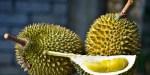 pencinta durian