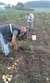 Erdäpfel-Ernte
