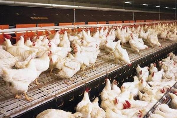 一百万只肉鸡变炉灰 谁之过?