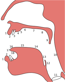 Schéma des points d'articulation et des points constricteurs par rapport aux organes phonateurs