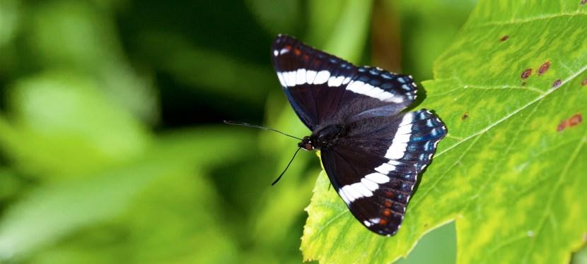 Papillon emblématique
