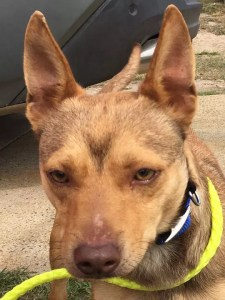 little Dark brown and cream coloured dog holding his leash ready for a walk - SEQ K9 Rescue Inc donations