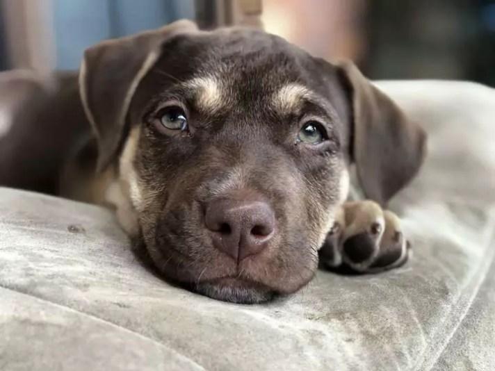picture of a puppie - SEQ K9 RESCUE inc