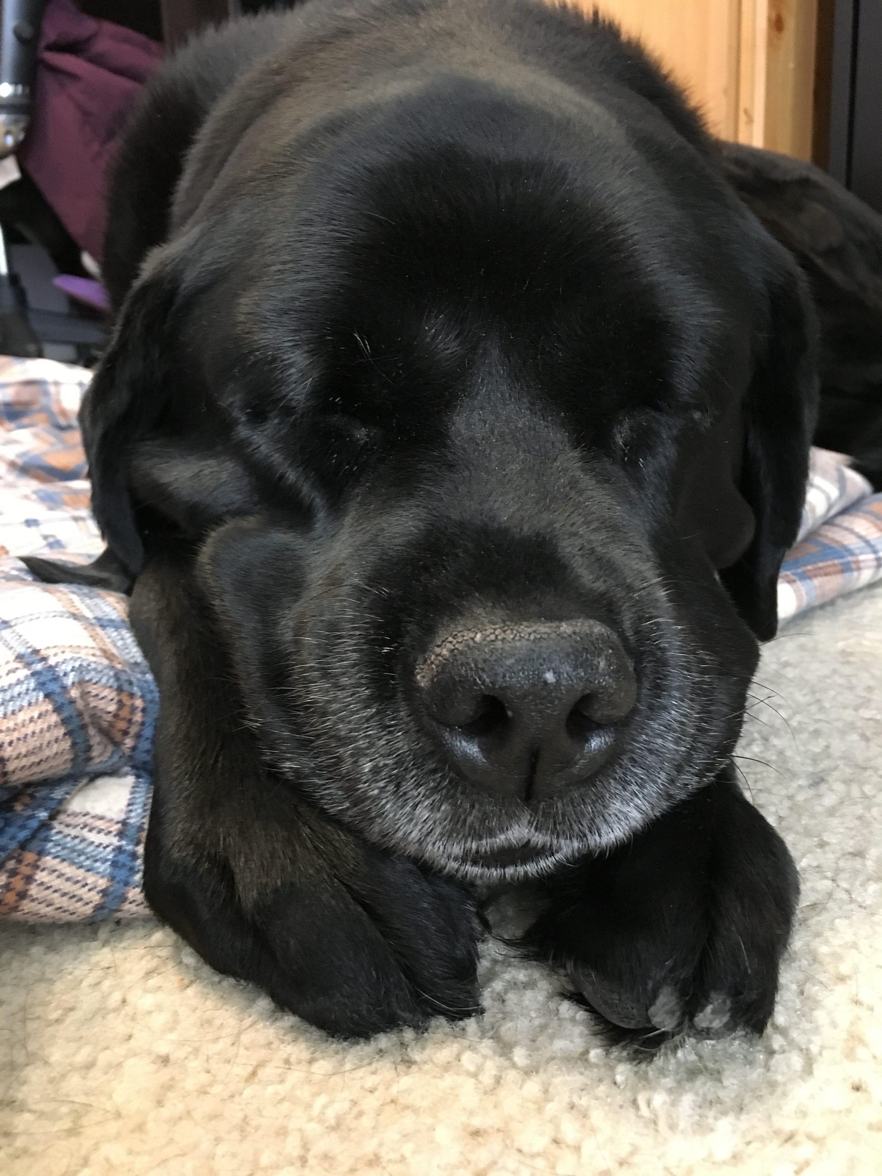 black-lab-dog