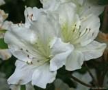 White-azalea-2.jpg