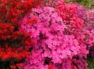 azalea-colour.jpg
