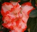 azalea-red-picotee.jpg