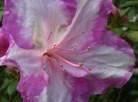 mauve-picotee-azalea-detail.jpg
