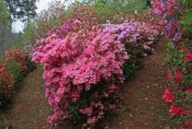 Azaleas-at-a-junction.jpg