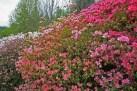 Azaleas-en-masse.jpg