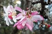 First-crabapple-blossoms-2_thumb.jpg