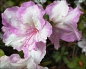 Frilly-bicolour-azalea_thumb.jpg
