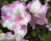 Frilly-bicolour-azalea_thumb.jpg