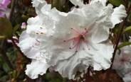 Frilly-palest-pink-azalea.jpg