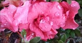 pink-double-azale_thumb.jpg