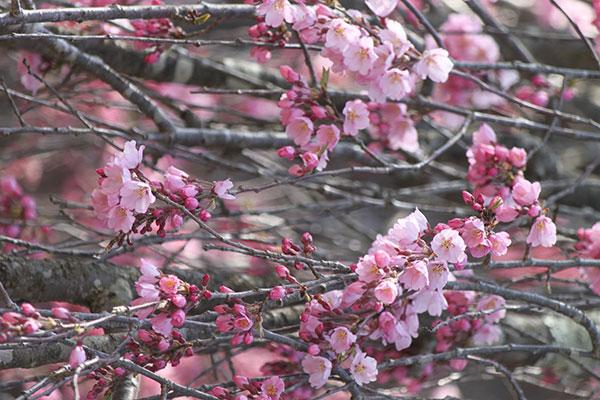 04_C白兎のしだれ桜