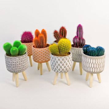 Cactus de color y macetero con patitas
