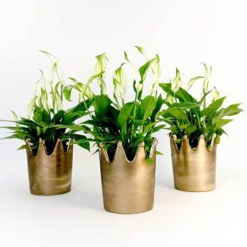 Maceta Corona con Planta Spatiphilium