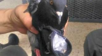 burung merpati jadi kurir narkoba