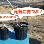 ブルーベリー栽培をずっと楽しんで欲しい。苗を買ったら最初にしてほしい事!
