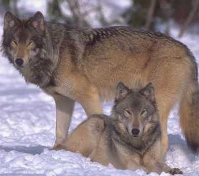 Вук и вучица су до краја живота верни једно другом. Инстинкт?