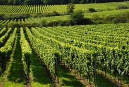 вршачки виногради