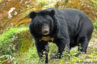 Тибетански (азијски) црни медвед