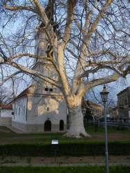 150-о годишњи платан у дворишту Доње цркве