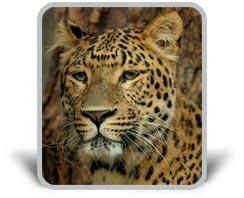 Εικόνα με λεοπάρδαλη και σκιά