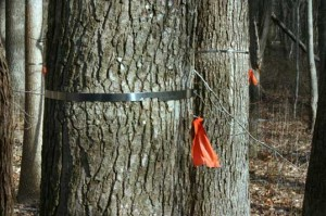 Two trees tagged with a metal band and an orange ribbon.