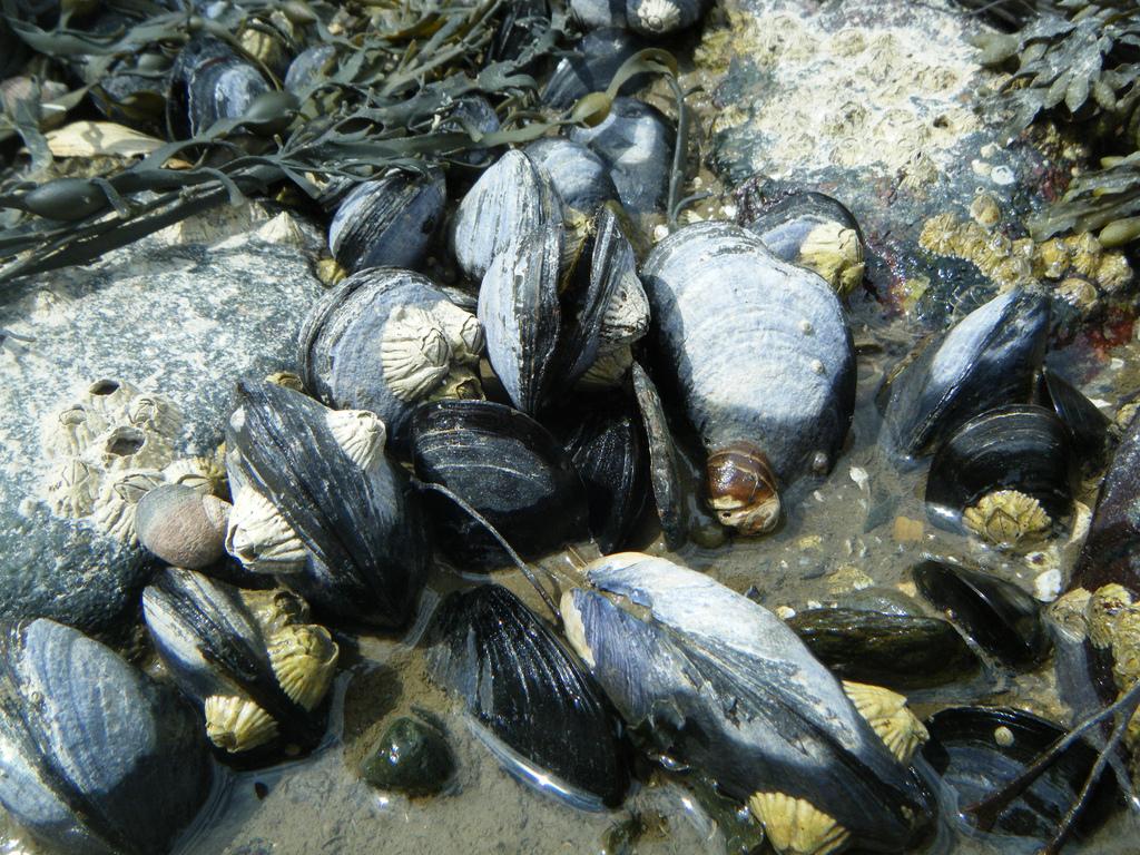 Shorelines Blog Archive Toughest Shellfish In The Sea