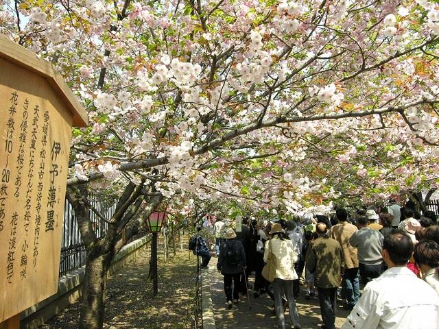 大阪造幣局の桜の通り抜け2015